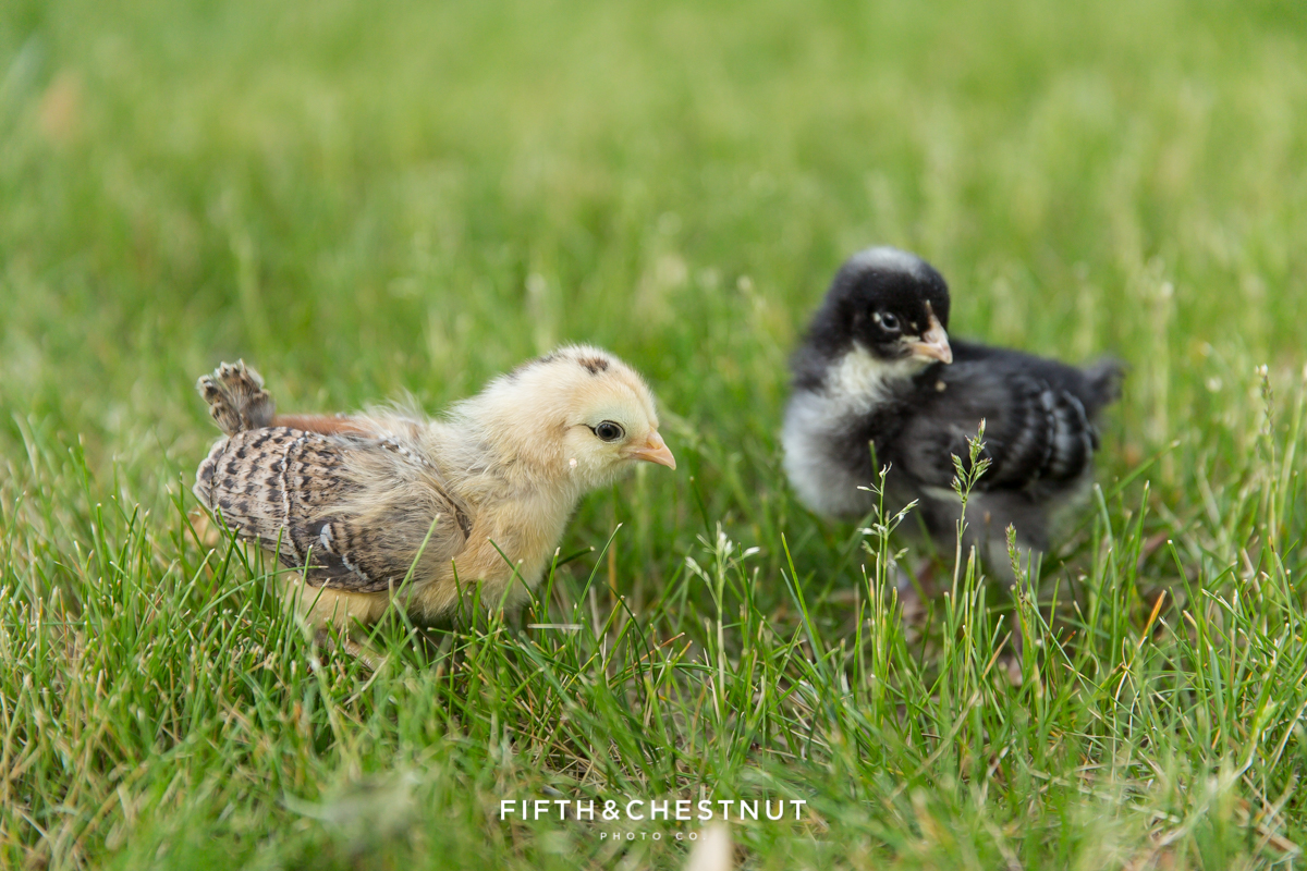 Backyard chickens in Sparks by Reno Photographer