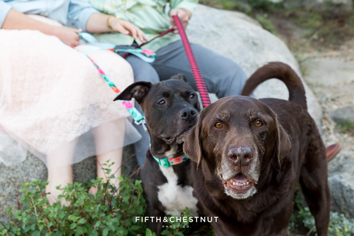lab and pitbull mix dogs in front of owners at a Donner Lake engagement session