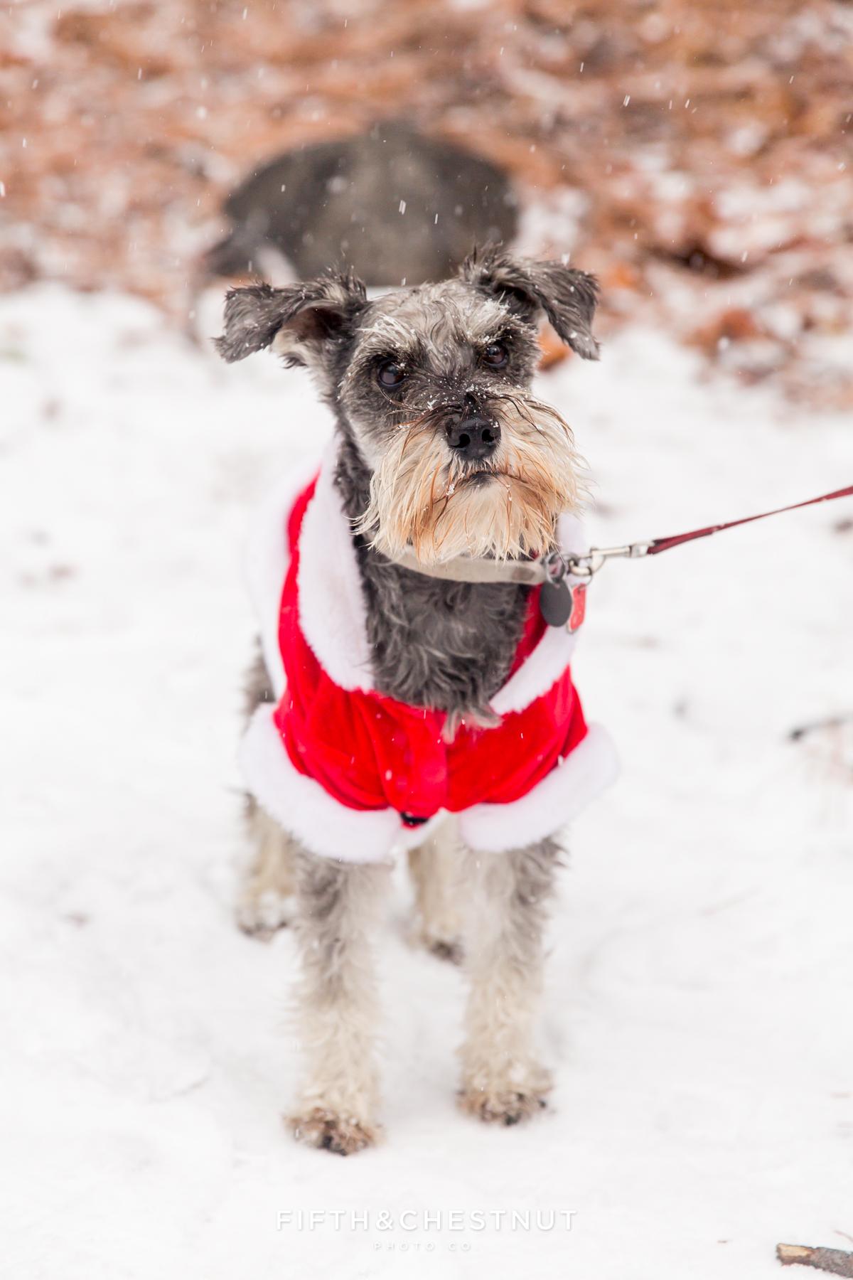Snowy Holiday Portrait of a Santa Dog at Galena Creek Park by Reno Family Photographer